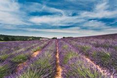Ideia cênico do campo de flores roxo brilhante de florescência da alfazema em Provence, França Fotografia de Stock Royalty Free