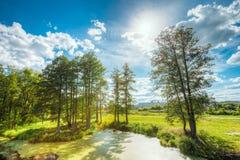 Ideia cênico do verão Sunny Forest Woods And Wild Bog nave n fotografia de stock royalty free