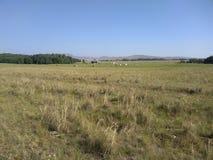 Ideia colorida dos campos, prados luxúrias e vacas da pastagem fotografia de stock