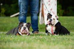 Ideia da data que toma cães para uma caminhada no parque fora imagens de stock