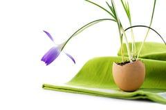 Ideia da decoração da Páscoa, açafrão plantado em uma casca de ovo, na verde Foto de Stock Royalty Free