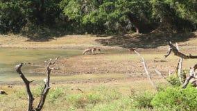 A ideia da flora e da fauna no parque nacional de Yala, Sri Lanka vídeos de arquivo