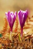 A ideia da mola de florescência da mágica floresce o açafrão que cresce da samambaia seca velha nos animais selvagens Foto macro  Imagens de Stock