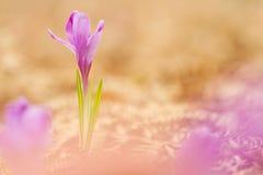 A ideia da mola de florescência da mágica floresce o açafrão que cresce da samambaia seca velha nos animais selvagens Foto macro  Fotos de Stock Royalty Free