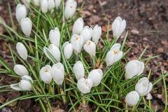 A ideia da mola de florescência da mágica floresce o açafrão que cresce nos animais selvagens Imagem de Stock Royalty Free