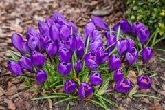 A ideia da mola de florescência da mágica floresce o açafrão que cresce nos animais selvagens Fotos de Stock Royalty Free