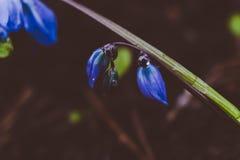 A ideia da mola de florescência da mágica floresce o açafrão que cresce nos animais selvagens Açafrão magenta azul que cresce da  Fotografia de Stock