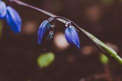 A ideia da mola de florescência da mágica floresce o açafrão que cresce nos animais selvagens Açafrão magenta azul que cresce da  Fotos de Stock