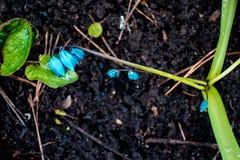 A ideia da mola de florescência da mágica floresce o açafrão que cresce nos animais selvagens Açafrão magenta azul que cresce da  Imagens de Stock Royalty Free