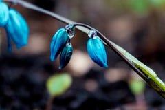 A ideia da mola de florescência da mágica floresce o açafrão que cresce nos animais selvagens Açafrão magenta azul que cresce da  Fotos de Stock Royalty Free