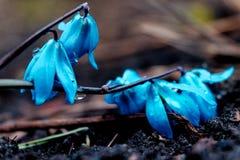 A ideia da mola de florescência da mágica floresce o açafrão que cresce nos animais selvagens Açafrão magenta azul que cresce da  Imagens de Stock