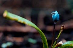 A ideia da mola de florescência da mágica floresce o açafrão que cresce nos animais selvagens Açafrão magenta azul que cresce da  Imagem de Stock Royalty Free