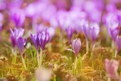 A ideia da mola de florescência da mágica floresce o açafrão que cresce nos animais selvagens Foto macro bonita do açafrão wildgr Imagem de Stock