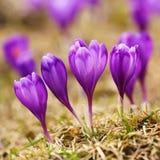 A ideia da mola de florescência floresce o açafrão que cresce nos animais selvagens Imagem de Stock