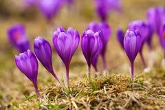 A ideia da mola de florescência floresce o açafrão que cresce nos animais selvagens Foto de Stock Royalty Free