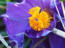 A ideia da mola de florescência floresce o açafrão que cresce nos animais selvagens Macro Fotos de Stock Royalty Free