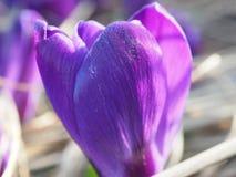A ideia da mola de florescência floresce o açafrão que cresce nos animais selvagens Macro Foto de Stock Royalty Free