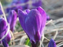 A ideia da mola de florescência floresce o açafrão que cresce nos animais selvagens Macro Imagem de Stock Royalty Free