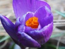 A ideia da mola de florescência floresce o açafrão que cresce nos animais selvagens Macro Fotos de Stock