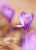 A ideia da mola de florescência mágica do close-up floresce o açafrão Imagem de Stock Royalty Free