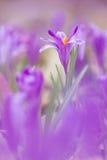 A ideia da mola de florescência mágica do close-up floresce o açafrão Imagens de Stock