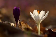 A ideia da mola de florescência mágica do close-up floresce o açafrão em luz solar surpreendente Imagens de Stock Royalty Free