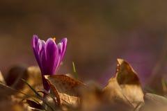 A ideia da mola de florescência mágica do close-up floresce o açafrão em luz solar surpreendente Imagem de Stock Royalty Free