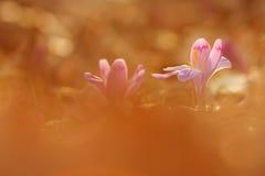 A ideia da mola de florescência mágica do close-up floresce o açafrão em luz solar surpreendente Foto de Stock Royalty Free