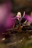 A ideia da mola de florescência mágica do close-up floresce o açafrão em luz solar surpreendente Fotos de Stock