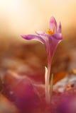 A ideia da mola de florescência mágica do close-up floresce o açafrão em luz solar surpreendente Imagem de Stock