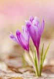 A ideia da mola de florescência mágica do close-up floresce o açafrão que cresce das folhas velhas Imagens de Stock