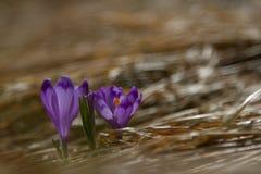 A ideia da mola de florescência mágica do close-up floresce o açafrão que cresce o franco Imagens de Stock