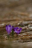 A ideia da mola de florescência mágica do close-up floresce o açafrão que cresce o franco Imagem de Stock