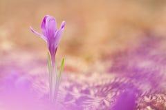 A ideia da mola de florescência mágica do close-up floresce o açafrão que cresce o franco Foto de Stock