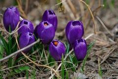 A ideia da mola de florescência da mágica floresce o açafrão Fotografia de Stock