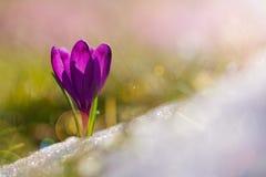 A ideia da mola de florescência da mágica floresce o açafrão que cresce da neve me imagens de stock