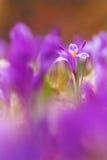 A ideia da mola de florescência violeta mágica floresce o açafrão que cresce nos animais selvagens Foto macro bonita do açafrão w Imagens de Stock
