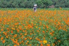 Ideia da paisagem do campo de flor do cosmos Imagem de Stock Royalty Free