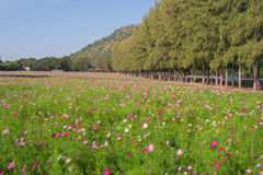 Ideia da paisagem do campo de flor do cosmos Imagens de Stock