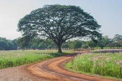 Ideia da paisagem do campo de flor do cosmos Fotografia de Stock Royalty Free
