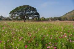Ideia da paisagem do campo de flor do cosmos Imagens de Stock Royalty Free