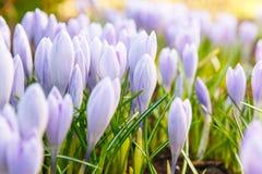 A ideia da primeira mola de florescência floresce o açafrão Fotos de Stock Royalty Free