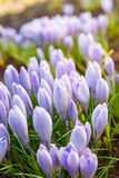A ideia da primeira mola de florescência floresce o açafrão Imagem de Stock Royalty Free