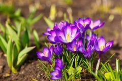 A ideia da primeira mola de florescência floresce o açafrão Imagens de Stock