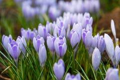 A ideia da primeira mola de florescência floresce o açafrão Foto de Stock