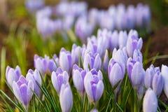 A ideia da primeira mola de florescência floresce o açafrão Foto de Stock Royalty Free