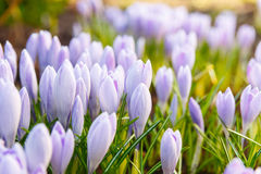 A ideia da primeira mola de florescência floresce o açafrão Fotografia de Stock