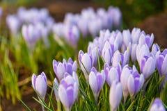 A ideia da primeira mola de florescência floresce o açafrão Imagens de Stock Royalty Free