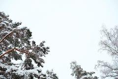 Ideia das partes superiores das árvores no inverno Fotografia de Stock