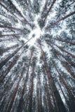 Ideia das partes superiores dos pinheiros na floresta do inverno da terra Fundo largo do ângulo da vista inferior foto de stock
